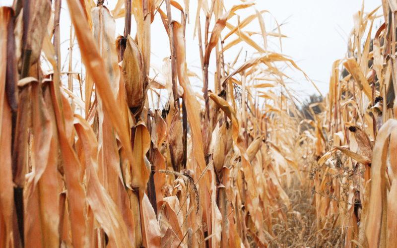 Corn is a bioenergy perspective of Ukraine