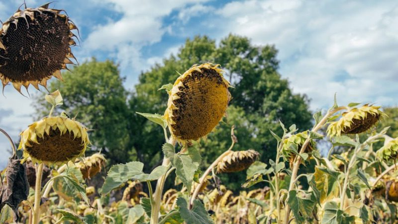 Since 2012, Ukraine has been a world leader in sunflower production