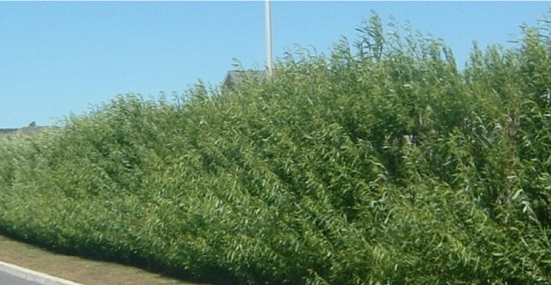 VERBA experience: Using rotational plantation strips of fast-growing willow and poplar cultivars to protect roads and railways