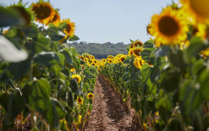 SAF: Виробництво біоетанолу з побічної продукції соняшнику